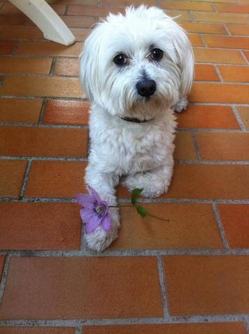 Gatsby, chien Bichon maltais