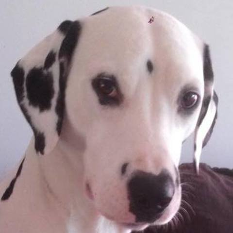 Geisha, chien Dalmatien