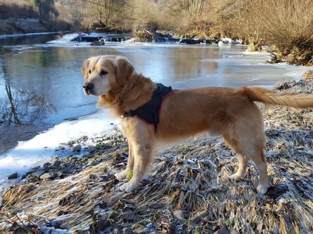 Génial, chien Golden Retriever