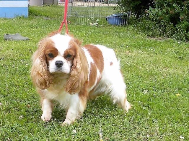 Génoise De L'Angelarde, chien