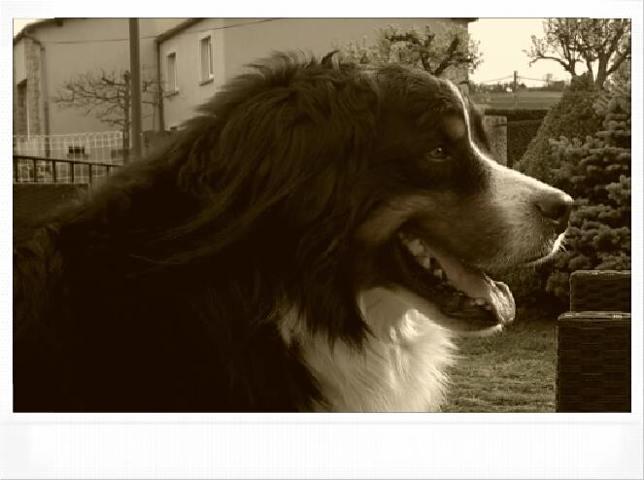 Ghandi, chien Bouvier bernois