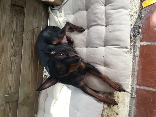 Gina, chien Pinscher