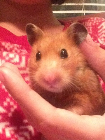 Ginger, rongeur Hamster