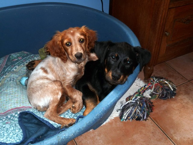 Ginger, chien Épagneul breton