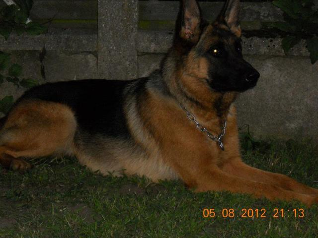 Gioia, chien Berger allemand