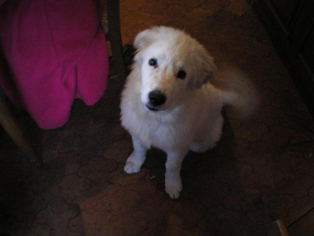 Gipsy, chien Chien de montagne des Pyrénées