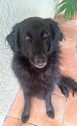 Groseille, chien Golden Retriever