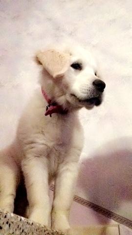 Maia, chiot Golden Retriever