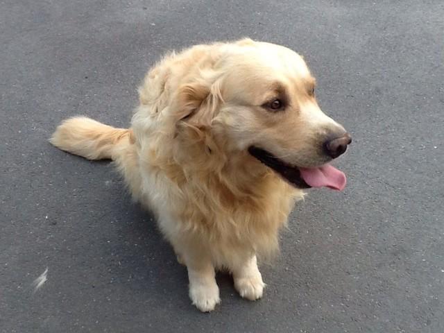 Doc, chien Golden Retriever