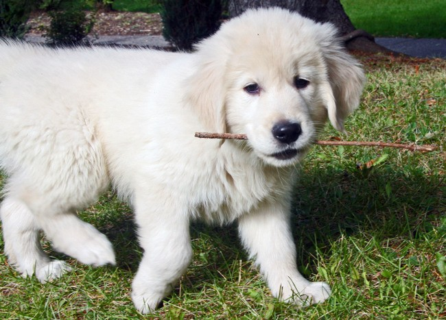 Balzac, chien Golden Retriever