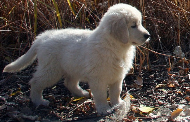 Balzac, chiot Golden Retriever