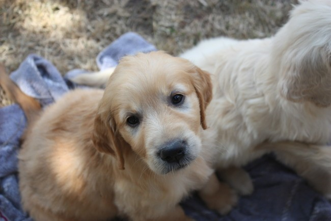 Palma, chiot Golden Retriever