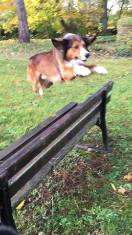 Gollum, chien Border Collie