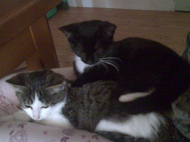 Athila, chat Gouttière