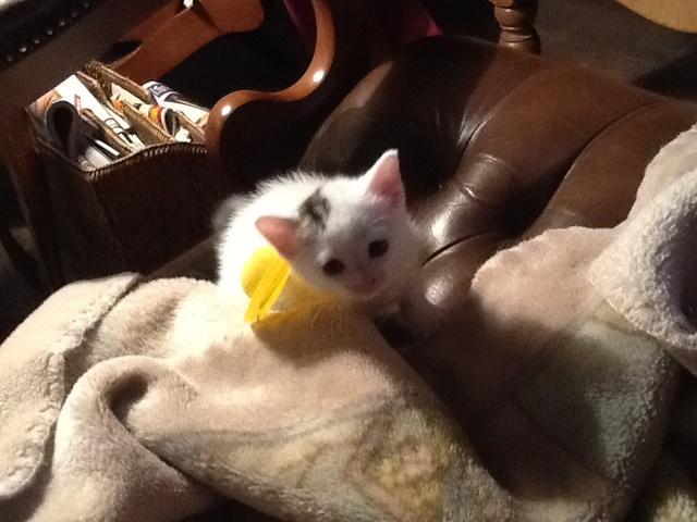Millie, chat Gouttière