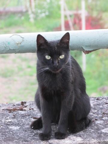 Sauvageonne, chat Gouttière