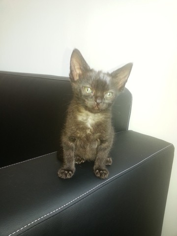 Lana, chat Gouttière