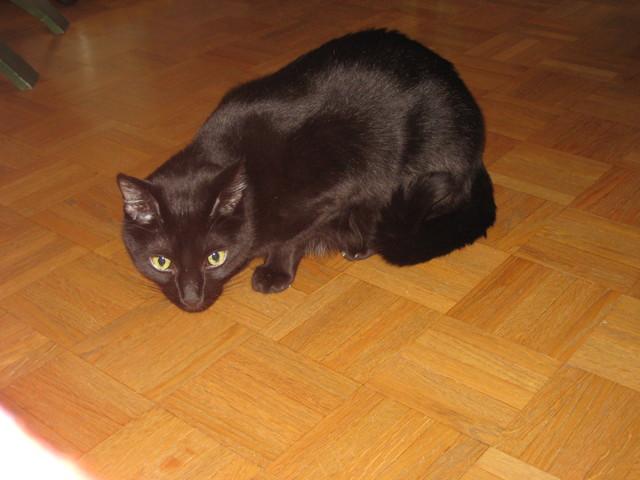 Nova, chat Gouttière
