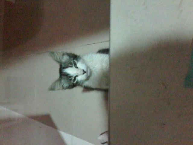 Dakie, chaton Gouttière