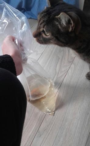Tigritte, chat Gouttière
