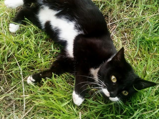 Lidia, chaton Gouttière