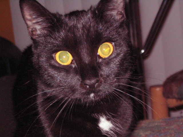 Cléo-Pichenotte, chat Gouttière