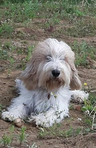 Nala, chien Grand Basset Griffon vendéen