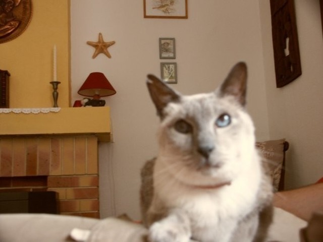 Gribouille 1991-2007, chat Siamois