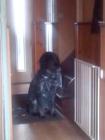 Charly, chien Griffon à poil dur Korthals