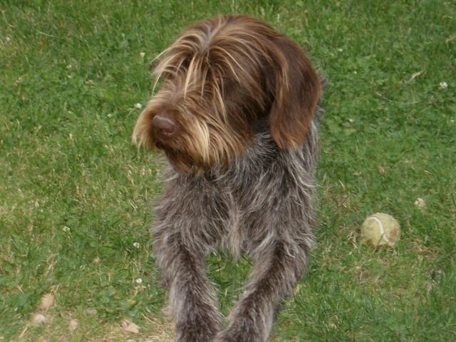 Eliot, chien Griffon à poil dur Korthals
