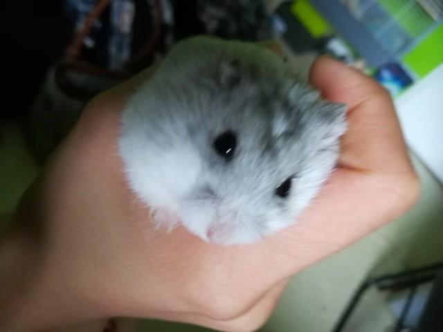 Groot, rongeur Hamster