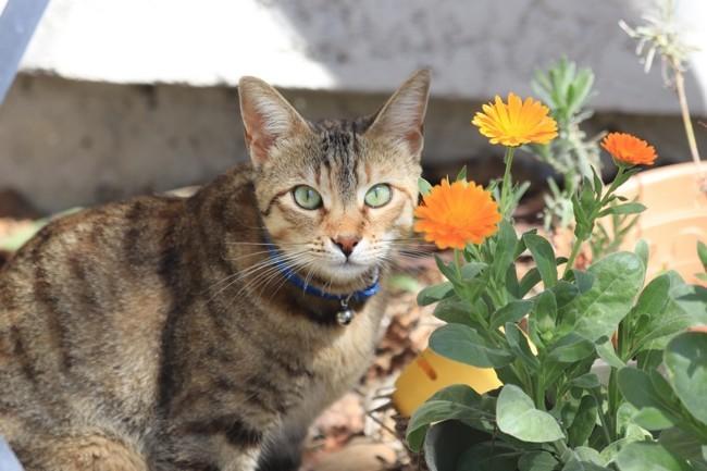 Groseille, chaton Européen