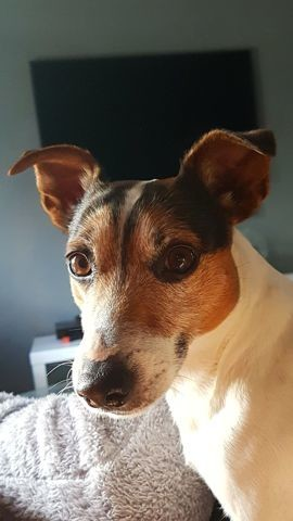 Guesh, chien Jack Russell Terrier