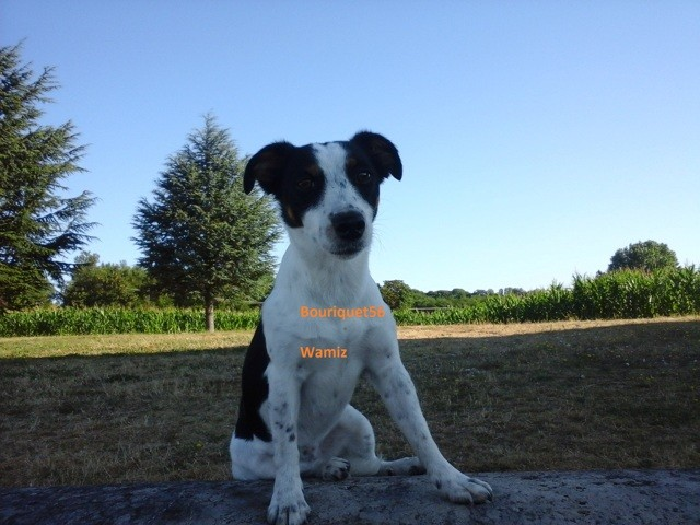 Guessy, chien Jack Russell Terrier
