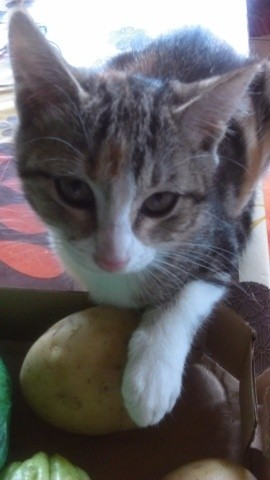 Guipsy, chat Gouttière