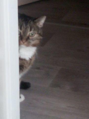 Gullie, chat Européen