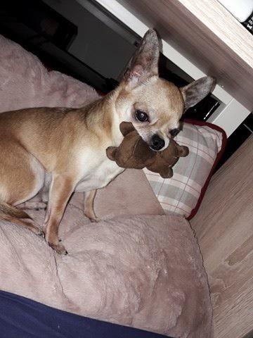 Gulliver, chien Chihuahua