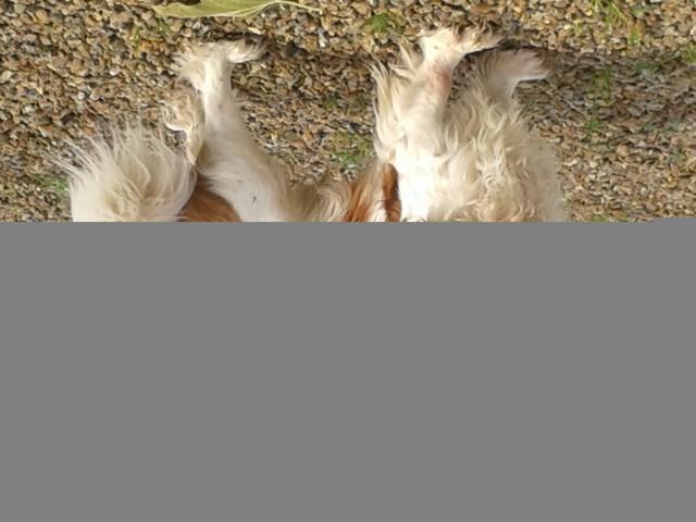 Gus, chien Cavalier King Charles Spaniel