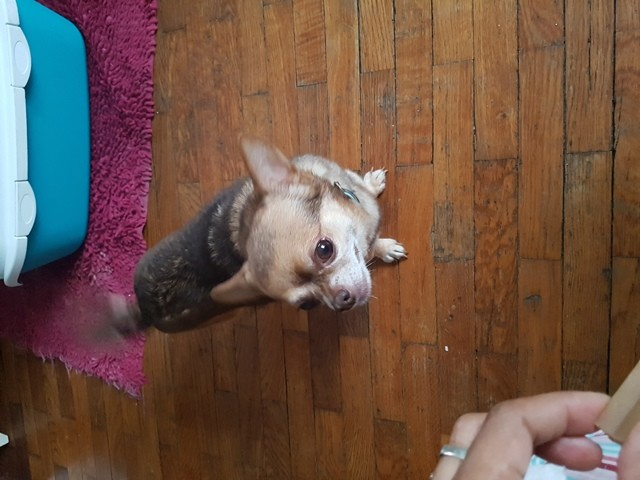 Gustave, chien Chihuahua