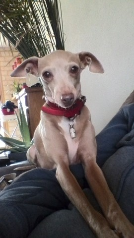 Gypsie, chien Petit Lévrier italien