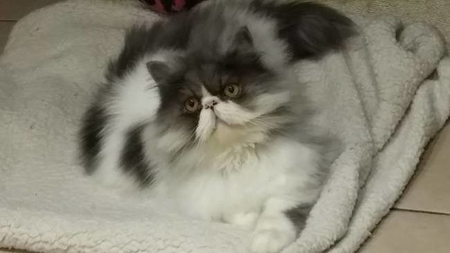 Héden, chat Persan
