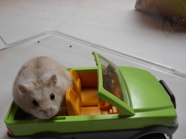 Zboub, rongeur Hamster