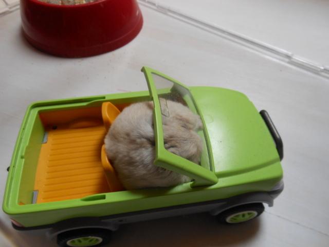 Zboub, rongeur Hamster