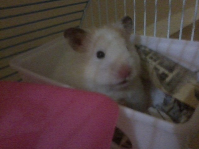 Daisy, rongeur Hamster