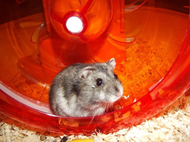 Mirtille, rongeur Hamster