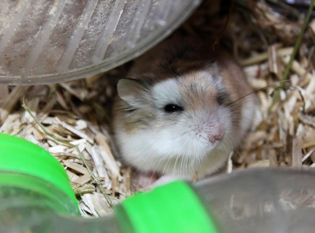 Jerry, rongeur Hamster