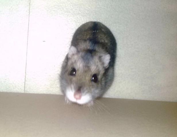 Crominette Rip , rongeur Hamster