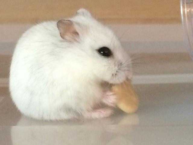 Carmen, rongeur Hamster