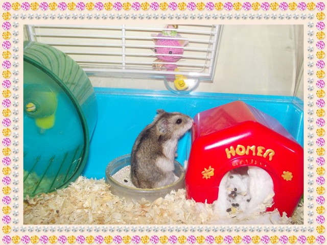Cinta, rongeur Hamster