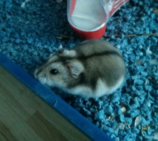 Tite-Face, rongeur Hamster